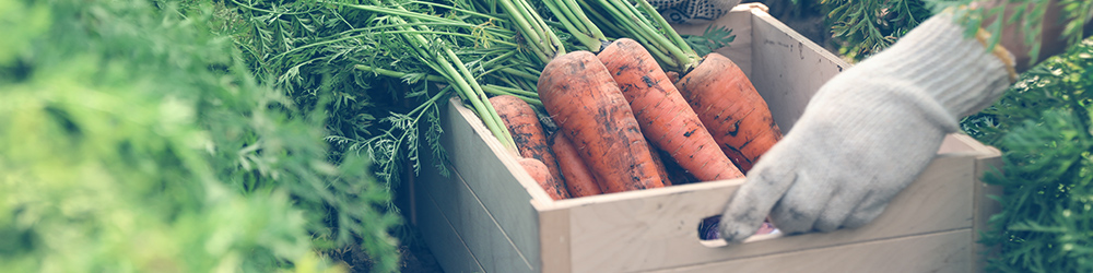 Veja recomendações de irrigação e colheita do alimento